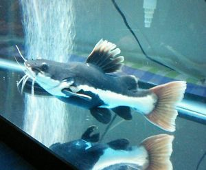 Red Tail Catfish 10 12 inch Live Freshwater Aquarium Fish