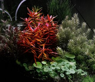 Nesaea Crassicaulis Live Tropical Aquarium Plant Fish Tank Java CO2 Koi Pond