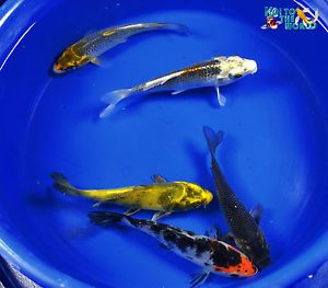 "Exact Fish 5 Lot 4 6"" Assorted Standard Fin Live Koi Pond Garden Fish KTTW D43"