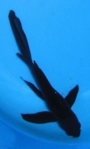 "1 Live Koi Fish Black Karasu Butterfly Fin 4 25"" Pond Garden Aquarium"