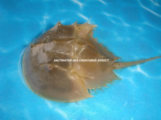 Horseshoe Crab Live Sand Scavenger Saltwater Fish Tank Reef Aquarium Filter